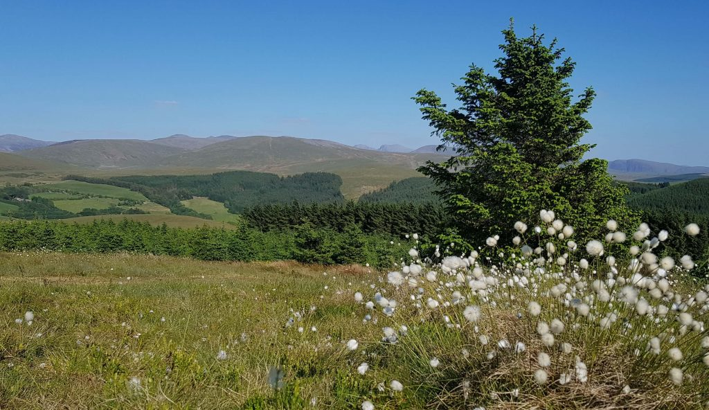 Looking through the cotton grass to Scafell Pike and Scafell