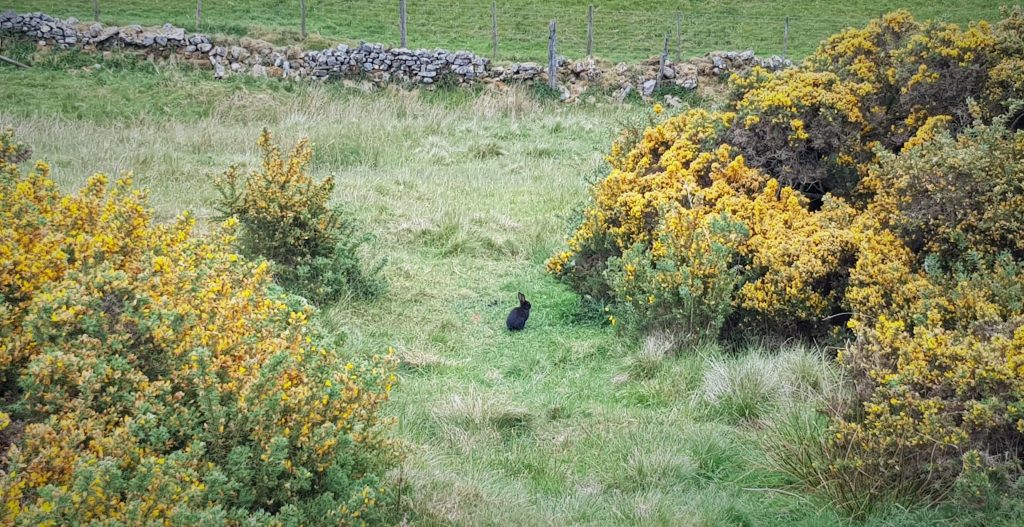 Bunny in the gorse bushes