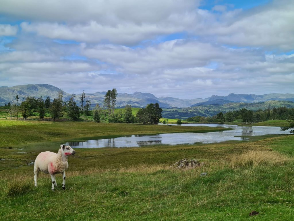 Sheep in front of Wise Een Tarn with the Lake District mountains as a backdrop